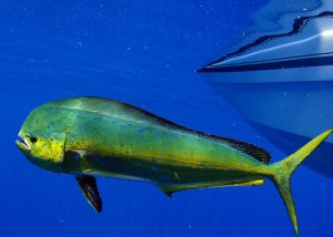 Read more about the article The Ultimate Guide on how to Catch Mahi Mahi in Florida – Tips and Techniques