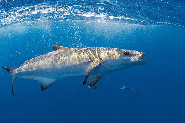 You are currently viewing The Ultimate Guide to Cobia Fishing in Florida
